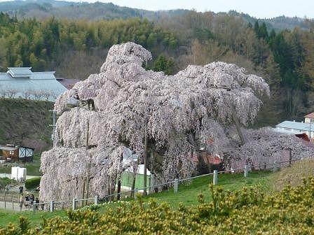 滝桜2011.jpg